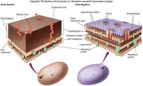 تفاوت در ساختار باکتریهای گرم مثبت و گرم منفی